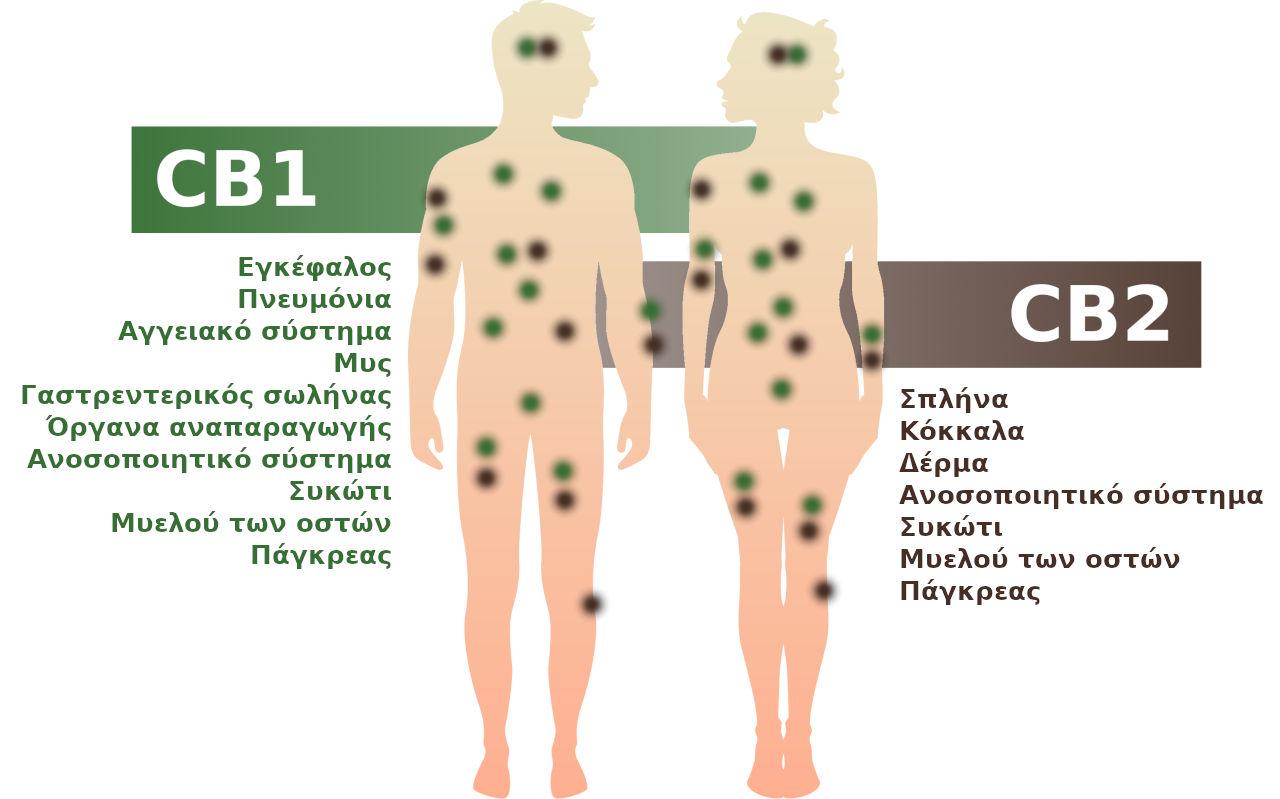 Το ενδοκανναβινοειδές σύστημα με τους υποδοχείς CB1 και CB2 στο ανθρώπινο σώμα